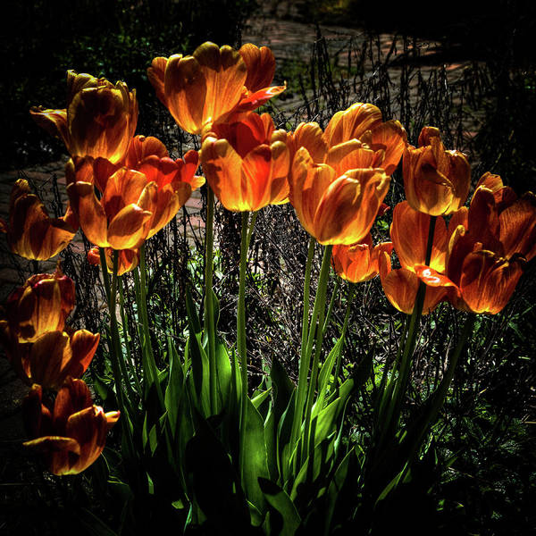 Photograph - Backlit Tulips by David Patterson