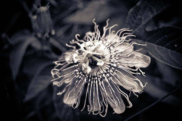 Photograph - Clematis Flower Bloom by Amber Flowers