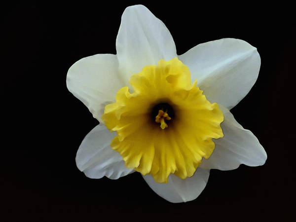 Photograph - Backyard Flower II by Dennis Buckman