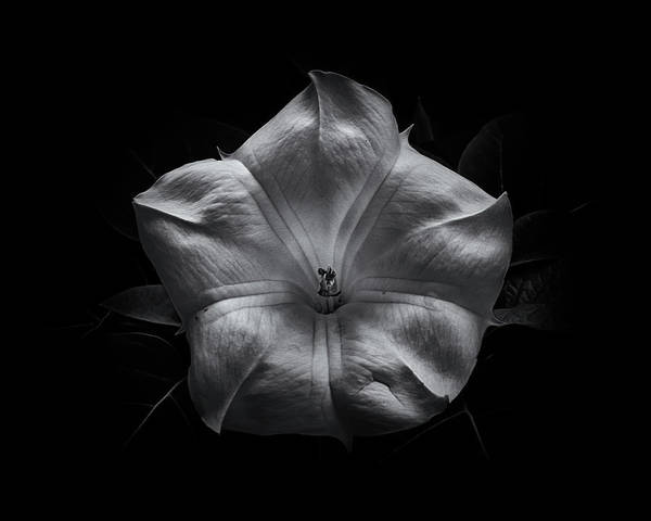 Photograph - Backyard Flowers In Black And White 24 by Brian Carson