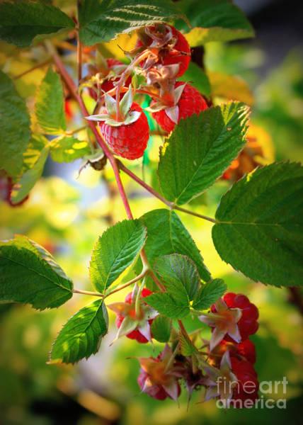 Photograph - Backyard Garden Series - Sunlight On Raspberries by Carol Groenen
