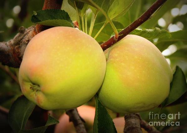 Photograph - Backyard Garden Series - Two Apples by Carol Groenen