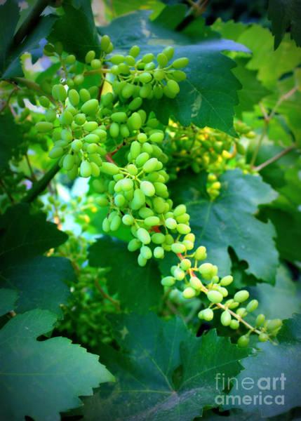 Photograph - Backyard Garden Series - Young Grapes by Carol Groenen