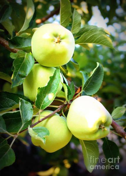 Photograph - Backyard Garden Series- Golden Delicious Apples by Carol Groenen