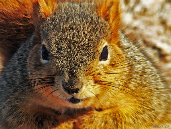 Photograph - Backyard Squirrel by Dennis Buckman