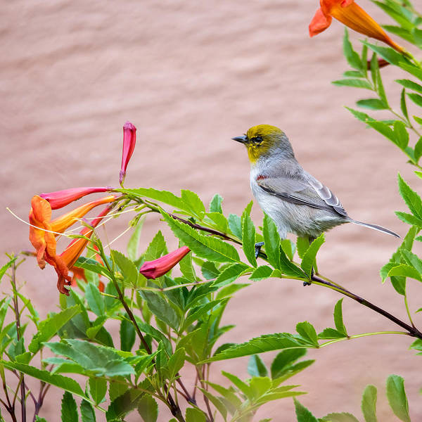 Photograph - Backyard Verdin by Dan McManus