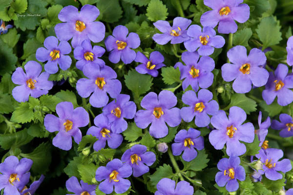 Bacopa Photograph - Bacopa Scopia Gulliver Blue by Safe Haven Photography Northwest