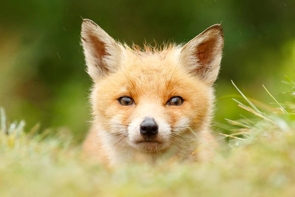 Cute Overload Photograph - Bad Fur Day - Fox Cub by Roeselien Raimond