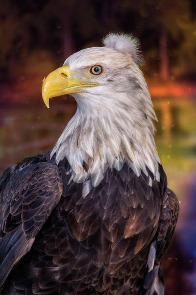 Wall Art - Photograph - Bad Hair Day Bald Eagle by Bill Tiepelman