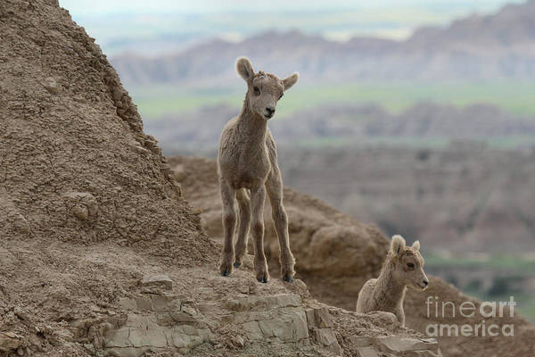 Photograph - Badlands Dynamic Duo by Adam Jewell