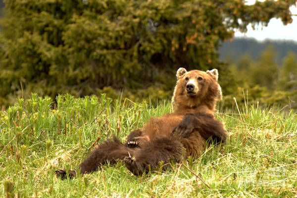 Photograph - Banff Grizzly Lounging In The Grass by Adam Jewell