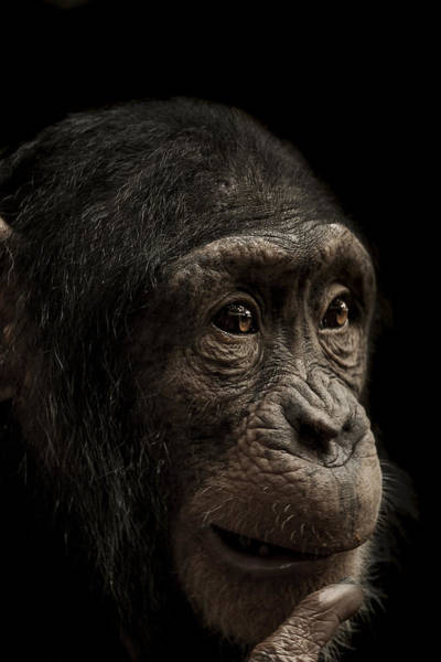 Primate Photograph - Baffled by Paul Neville