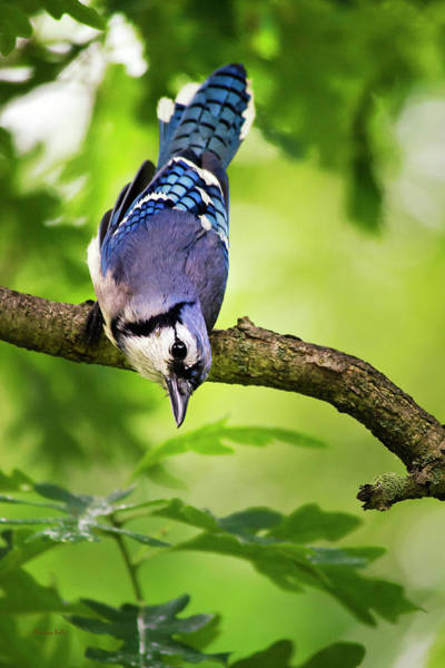 Photograph - Balanced Blue Jay by Christina Rollo