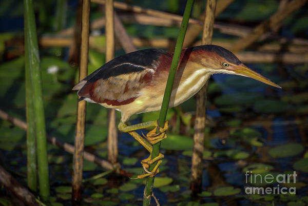 Photograph - Balanced Perch Bittern by Tom Claud