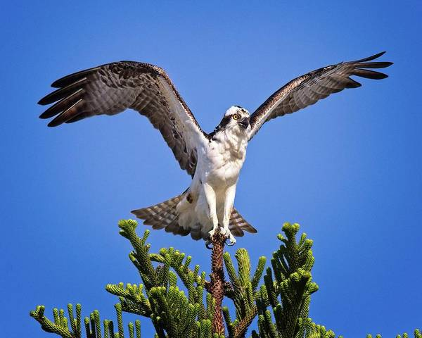 Photograph - Balancing Osprey  by Ronald Lutz