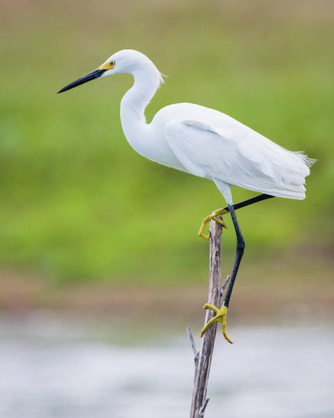 Photograph - Balancing Snowy Egret Portrait by Dawn Currie