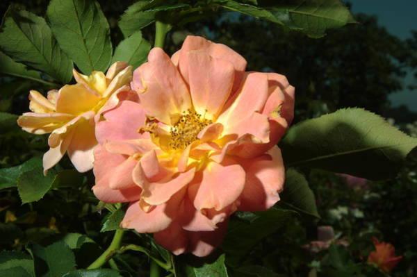 Photograph - Balboa Park Rose Garden Flower 5 by Phyllis Spoor