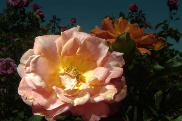 Photograph - Balboa Park Rose Garden Flower 8 by Phyllis Spoor