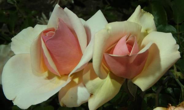 Photograph - Balboa Park Rose Garden Flower 4 by Phyllis Spoor