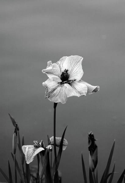Photograph - Black And White Japanese Iris 2707 H_3bw by Steven Ward