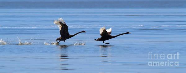 Australian Wildlife Wall Art - Photograph - Balck Swans Taking To Flight by Bill  Robinson