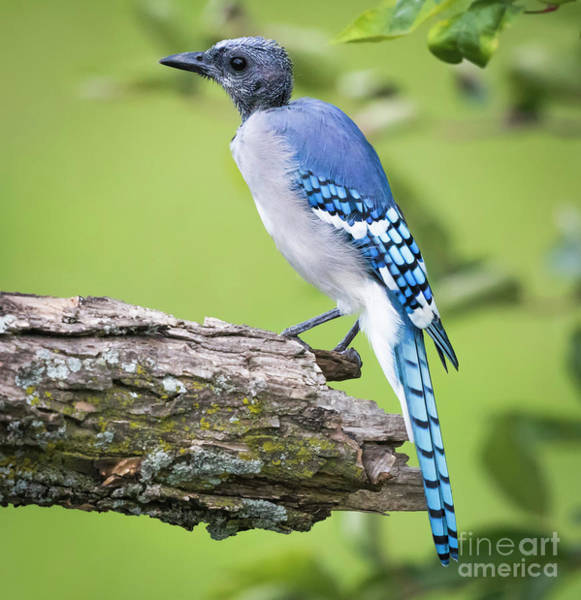 Photograph - Bald Blue Jay- It Must Be August by Ricky L Jones