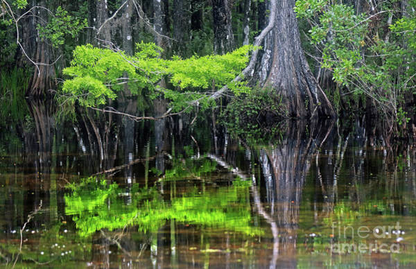I-75 Photograph - Bald Cypress  by Jim Beckwith