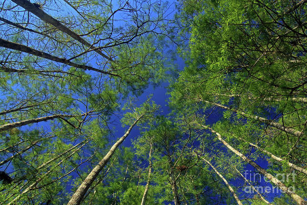 I-75 Photograph - Bald Cypress Trees  by Jim Beckwith