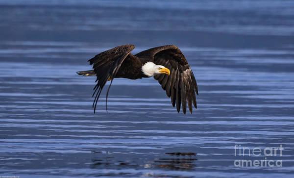 Eagle In Flight Photograph - Bald Eagel Flight by Mitch Shindelbower