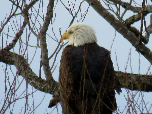 Photograph -  Bald Eagle                                                          Bald Eagle                      by Dennis McCarthy
