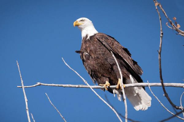 Wall Art - Photograph - Bald Eagle 1 by Catherine Lau