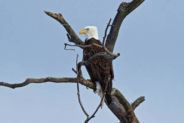 Wall Art - Photograph - Bald Eagle 1251 by Michael Peychich