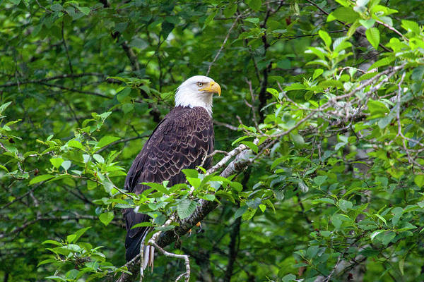 Photograph - Bald Eagle 2 by Anthony Jones