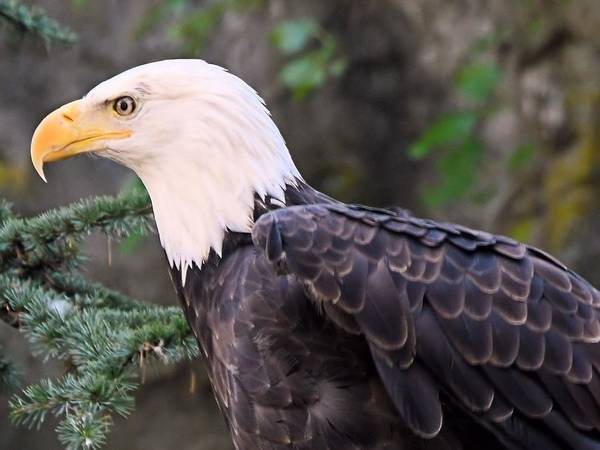 Photograph - Bald Eagle 2 by Charles HALL