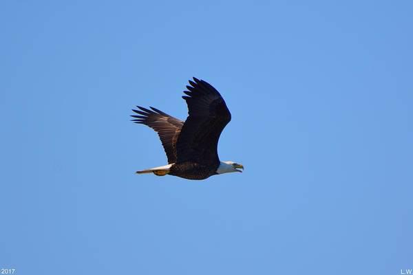 Photograph - Bald Eagle 2 by Lisa Wooten