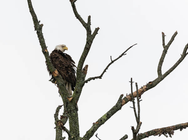 Photograph - Bald Eagle 2017-1 by Thomas Young