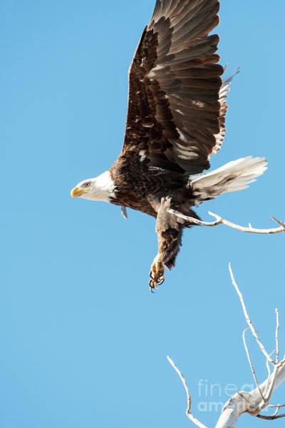 Wall Art - Photograph - Bald Eagle 3 by Catherine Lau