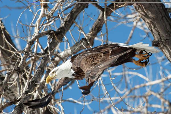 Wall Art - Photograph - Bald Eagle 4 by Catherine Lau