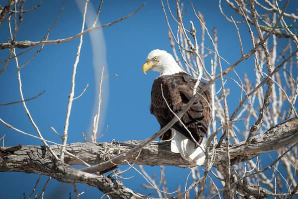 Wall Art - Photograph - Bald Eagle 5 by Catherine Lau