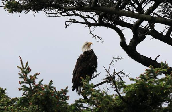Photograph - Bald Eagle - 5 by Christy Pooschke