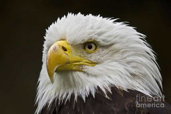 Faunal Photograph - Bald Eagle - 6 by Heiko Koehrer-Wagner