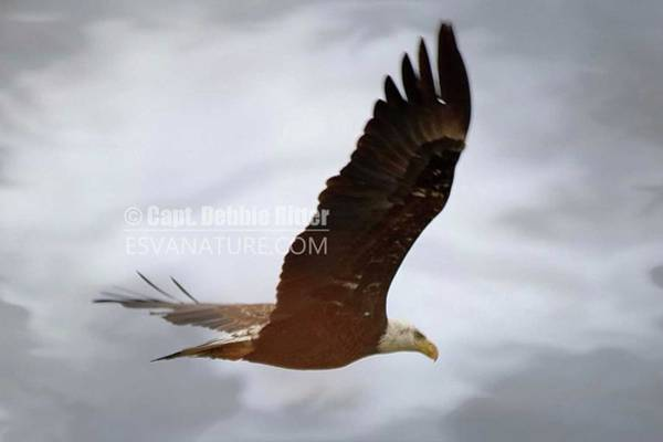 Photograph - Bald Eagle 7427 by Captain Debbie Ritter