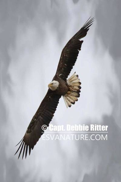 Photograph - Bald Eagle 7437 by Captain Debbie Ritter