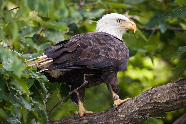 Photograph - Bald Eagle 8270 by Dan Beauvais