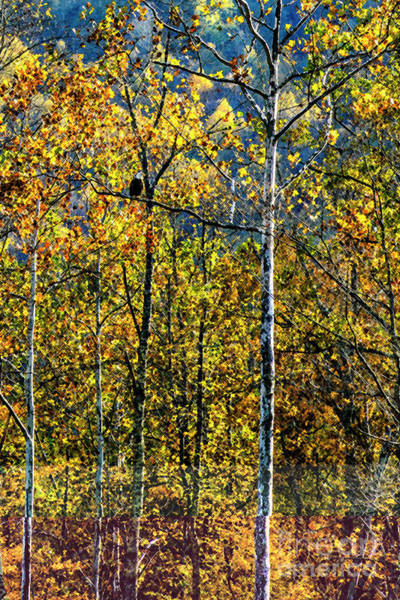 Photograph - Bald Eagle Along Williams River by Thomas R Fletcher