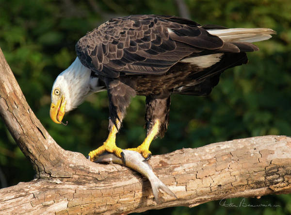 Photograph - Bald Eagle And Fresh Catch 3093 by Dan Beauvais