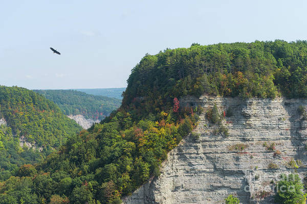 Letchworth Photograph - Bald Eagle At Letchworth State Park by Michael Ver Sprill