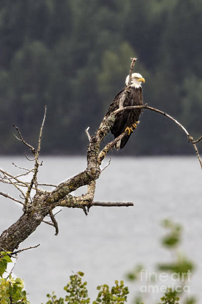 Photograph - Bald Eagle At St. Mary Lake by Jemmy Archer