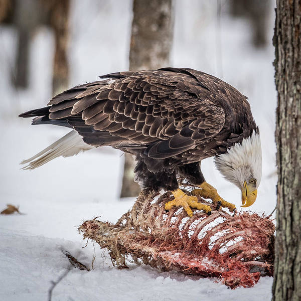 Bif Photograph - Bald Eagle At The Buffet by Paul Freidlund