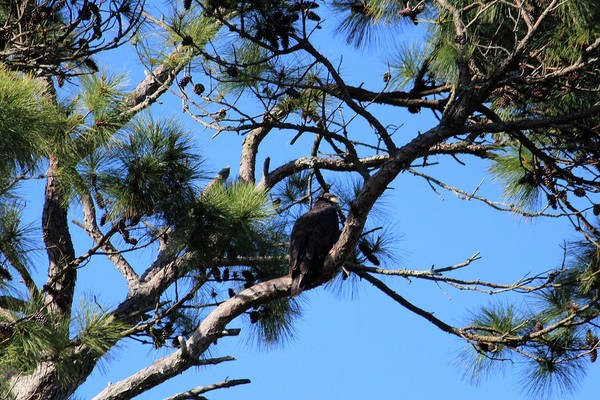 Photograph - Bald Eagle Baby by Cynthia Guinn
